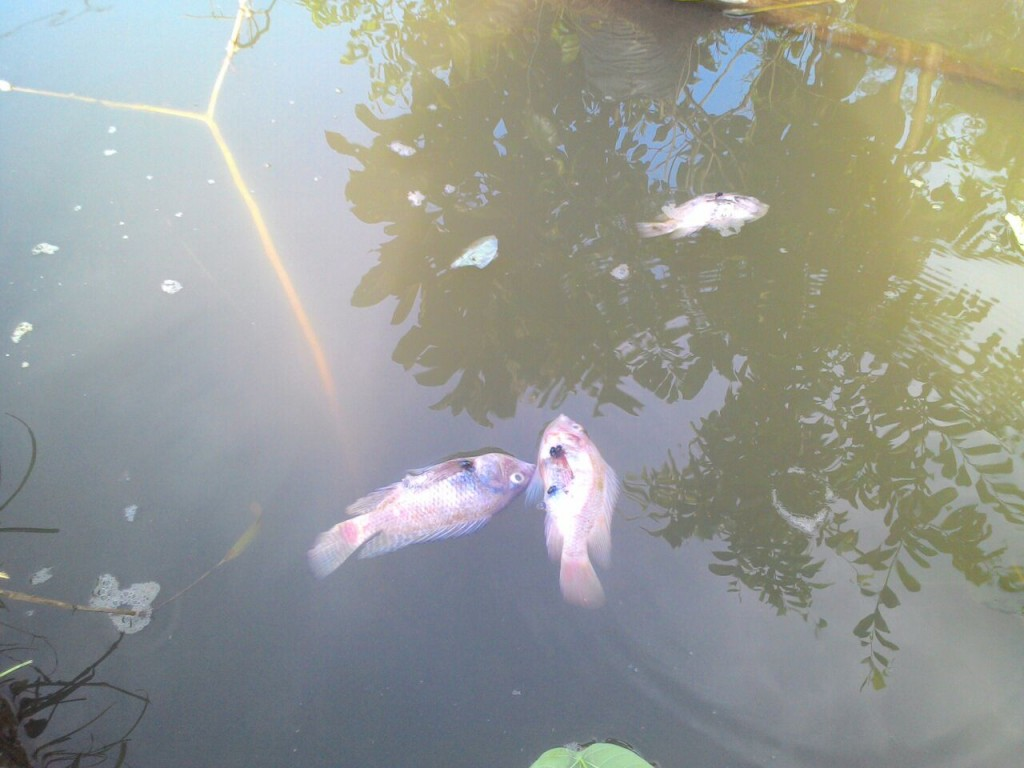 ikan mati karena limbah tahu